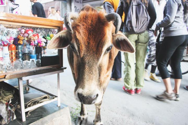 India_cow_street