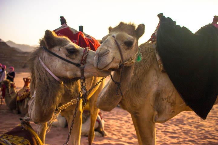 Wadi rum camels kissing