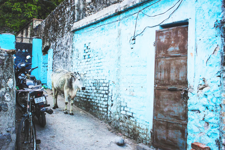 India_cow_alley