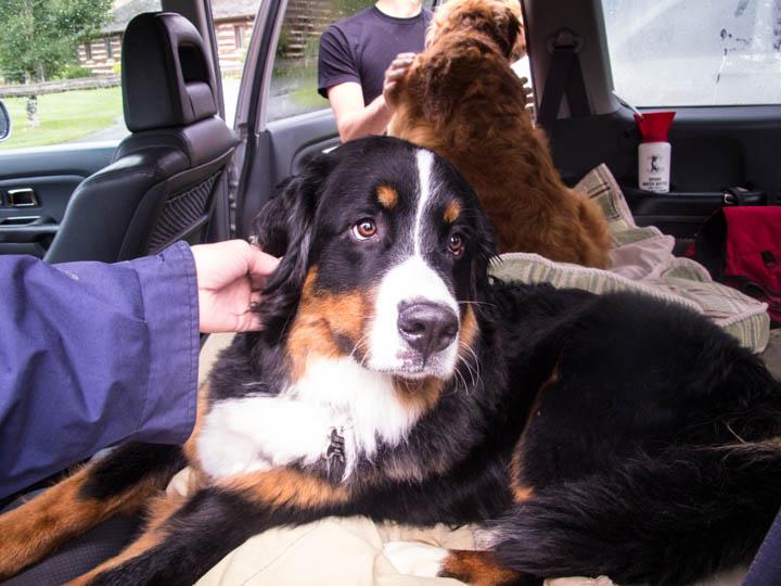 Montana_Ranch_Bernese_Mountain_Dog