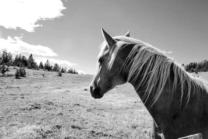 Montana_Ranch_Horse