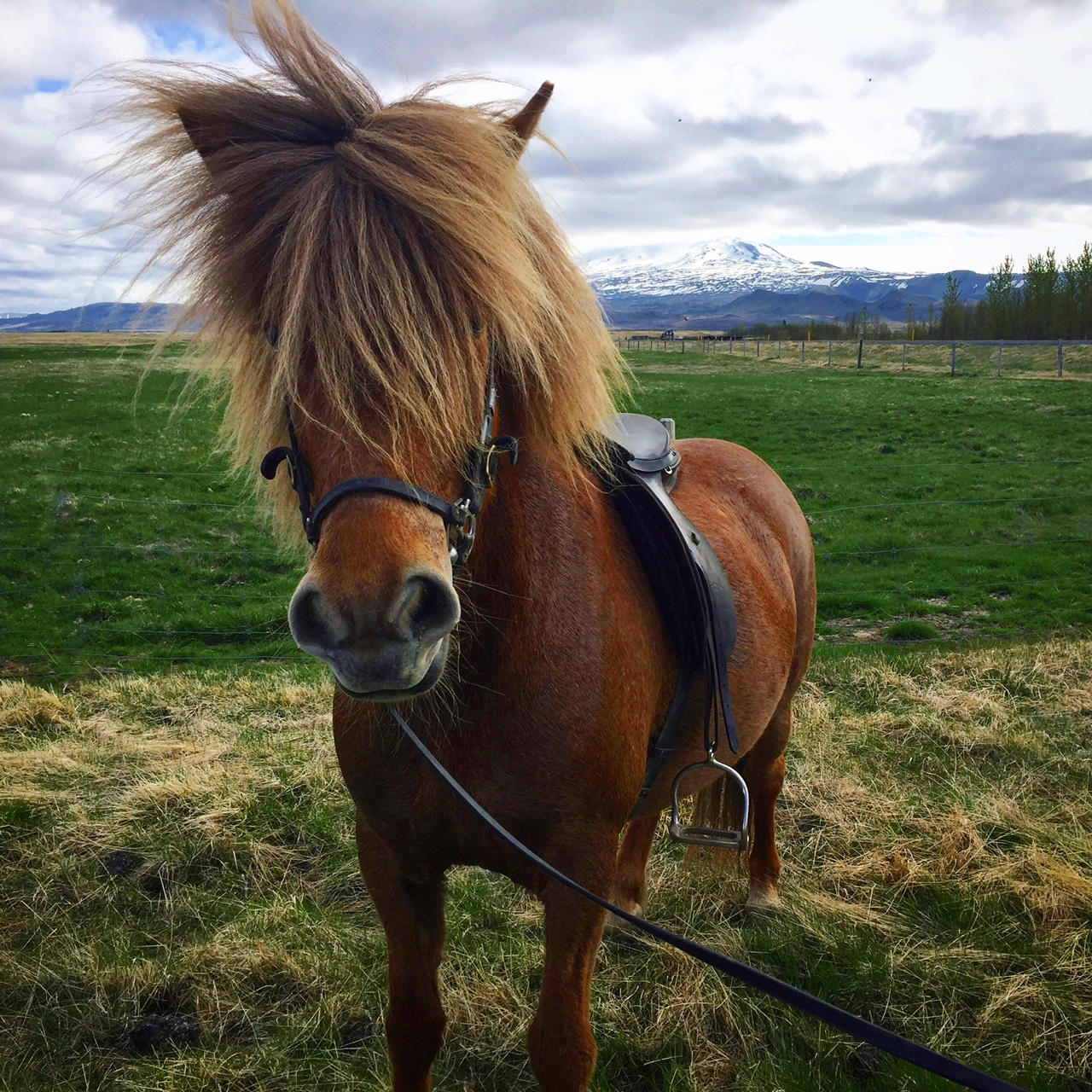 My adorable Icelandic horse Gloth, who nearly bucked me two minutes into the ride.